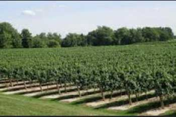 grape farm,grape tree, farm investment
