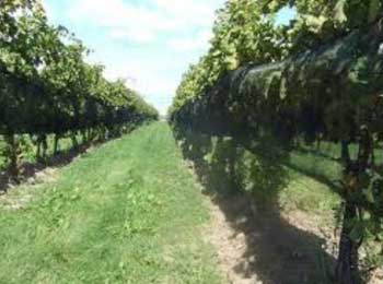 grape trees, ontario farm, farm investment