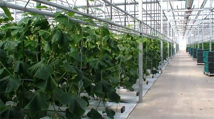 加拿大温室农场, 加拿大蔬菜农场