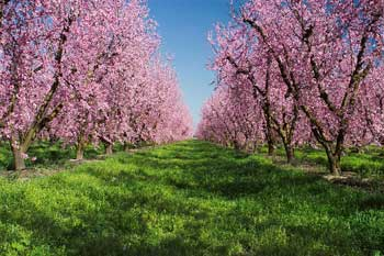 peach flower, Canadian farmland, fruit farm