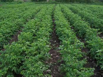 马铃薯农场出售