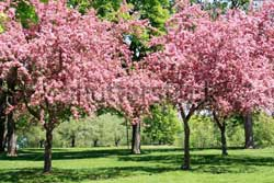 cherry tree, fruit tree plant